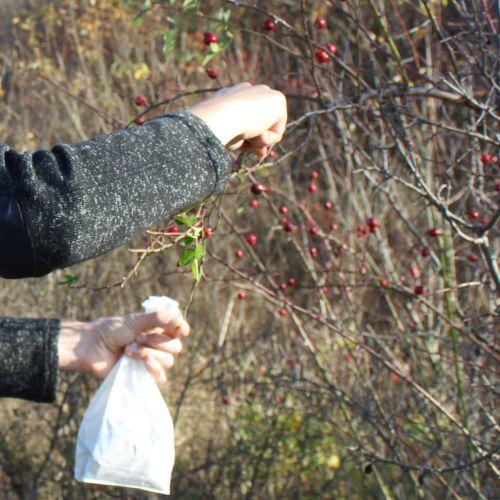 Príroda lieči: Prechádzka za šípkami